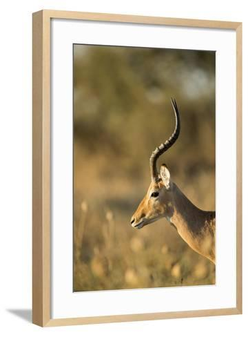 Impala, Moremi Game Reserve, Botswana-Paul Souders-Framed Art Print
