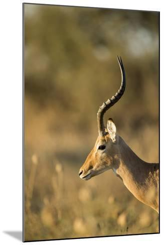 Impala, Moremi Game Reserve, Botswana-Paul Souders-Mounted Photographic Print