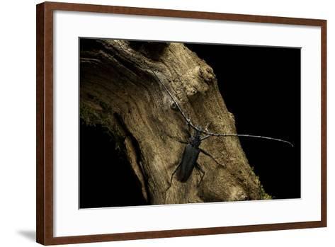 Cerambyx Cerdo (Great Capricorn Beetle)-Paul Starosta-Framed Art Print