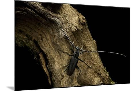 Cerambyx Cerdo (Great Capricorn Beetle)-Paul Starosta-Mounted Photographic Print