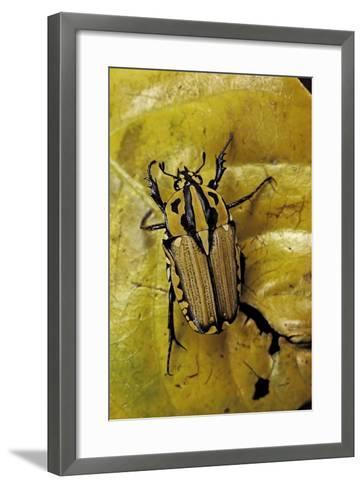 Gnathocera Triviattata Triviattata (Flower Beetle)-Paul Starosta-Framed Art Print