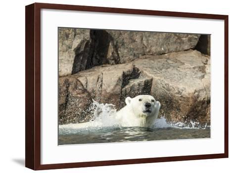 Swimming Polar Bear, Hudson Bay, Nunavut, Canada-Paul Souders-Framed Art Print