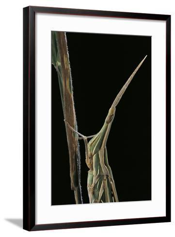 Xenotruxalis Fenestrata (Short-Horned Grasshopper) - Portrait-Paul Starosta-Framed Art Print