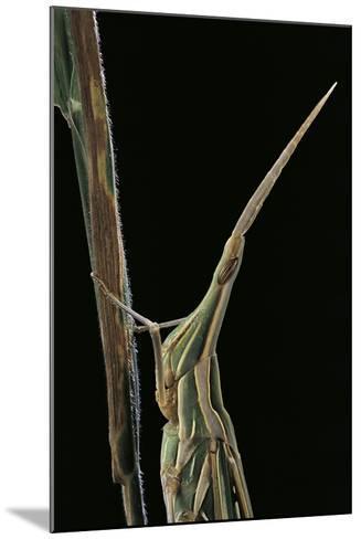 Xenotruxalis Fenestrata (Short-Horned Grasshopper) - Portrait-Paul Starosta-Mounted Photographic Print