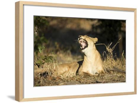 Yawning Lioness, Chobe National Park, Botswana-Paul Souders-Framed Art Print