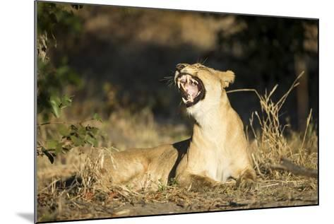 Yawning Lioness, Chobe National Park, Botswana-Paul Souders-Mounted Photographic Print