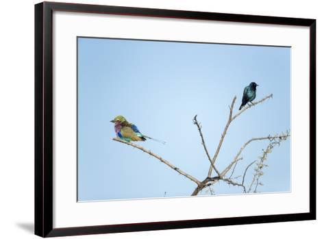Lilac Breasted Roller and Burchell's Starling, Botswana-Paul Souders-Framed Art Print