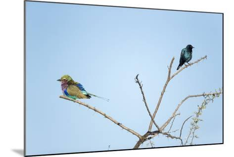 Lilac Breasted Roller and Burchell's Starling, Botswana-Paul Souders-Mounted Photographic Print