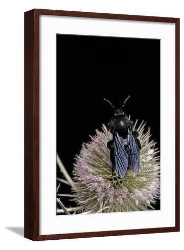 Xylocopa Violacea (Violet Carpenter Bee)-Paul Starosta-Framed Art Print