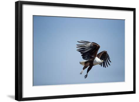 Fish Eagle in Flight, Chobe National Park, Botswana-Paul Souders-Framed Art Print
