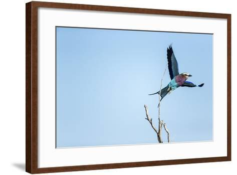 Lilac Breasted Roller, Moremi Game Reserve, Botswana-Paul Souders-Framed Art Print
