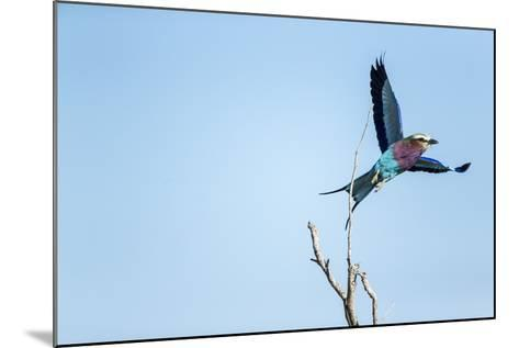 Lilac Breasted Roller, Moremi Game Reserve, Botswana-Paul Souders-Mounted Photographic Print