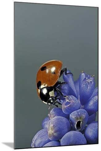 Coccinella Septempunctata (Sevenspotted Lady Beetle)-Paul Starosta-Mounted Photographic Print