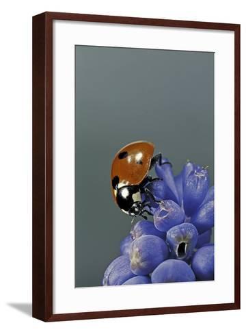 Coccinella Septempunctata (Sevenspotted Lady Beetle)-Paul Starosta-Framed Art Print