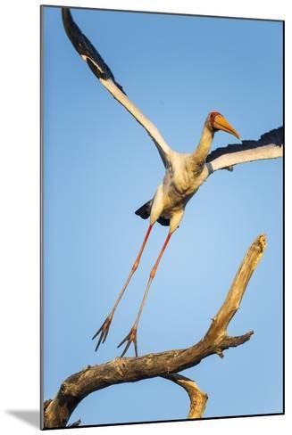 Yellow Billed Stork, Moremi Game Reserve, Botswana-Paul Souders-Mounted Photographic Print