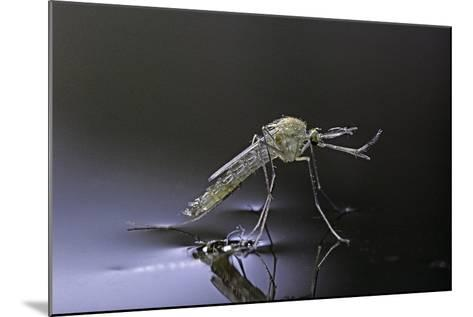 Culex Pipiens (Common House Mosquito) - Newly Emerged from Pupa-Paul Starosta-Mounted Photographic Print