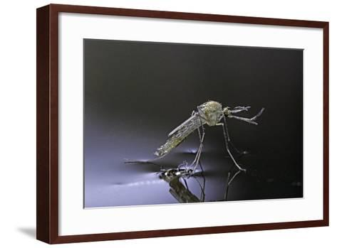 Culex Pipiens (Common House Mosquito) - Newly Emerged from Pupa-Paul Starosta-Framed Art Print