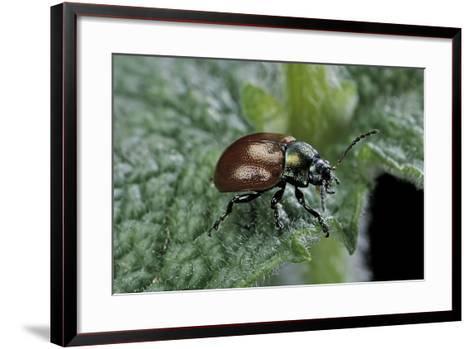 Chrysolina Polita (Leaf Beetle)-Paul Starosta-Framed Art Print