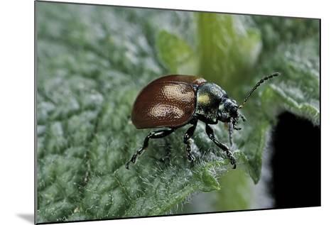 Chrysolina Polita (Leaf Beetle)-Paul Starosta-Mounted Photographic Print