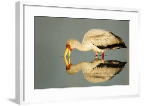 Yellow Billed Stork, Moremi Game Reserve, Botswana-Paul Souders-Framed Art Print