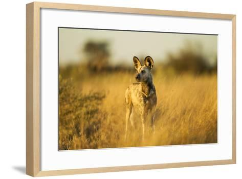 Wild Dog at Dawn, Moremi Game Reserve, Botswana-Paul Souders-Framed Art Print