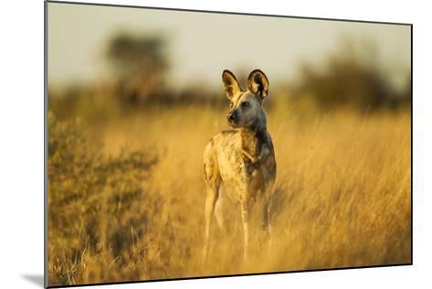 Wild Dog at Dawn, Moremi Game Reserve, Botswana-Paul Souders-Mounted Photographic Print