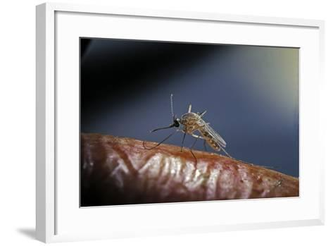 Culex Pipiens (Common House Mosquito) - on a Flower-Paul Starosta-Framed Art Print