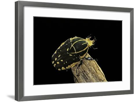 Chelorrhina Polyphemus (Flower Beetle)-Paul Starosta-Framed Art Print