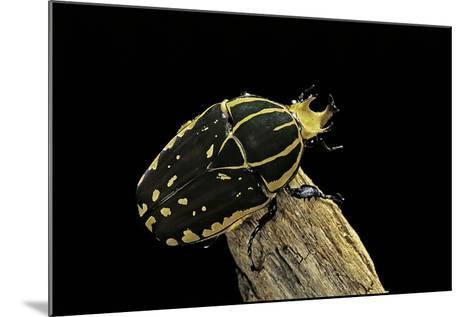 Chelorrhina Polyphemus (Flower Beetle)-Paul Starosta-Mounted Photographic Print