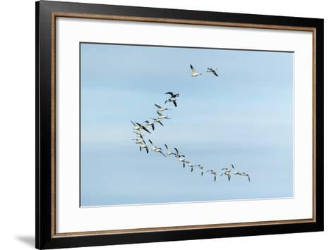 Migrating Flock of Snow Geese, Repulse Bay, Nanavut, Canada-Paul Souders-Framed Art Print
