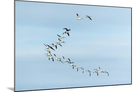Migrating Flock of Snow Geese, Repulse Bay, Nanavut, Canada-Paul Souders-Mounted Photographic Print