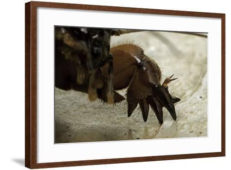 Gryllotalpa Gryllotalpa (European Mole Cricket) - Foreleg-Paul Starosta-Framed Art Print