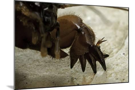 Gryllotalpa Gryllotalpa (European Mole Cricket) - Foreleg-Paul Starosta-Mounted Photographic Print