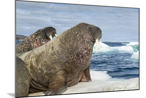 Walrus Resting on Ice in Hudson Bay, Nunavut, Canada-Paul Souders-Mounted Photographic Print
