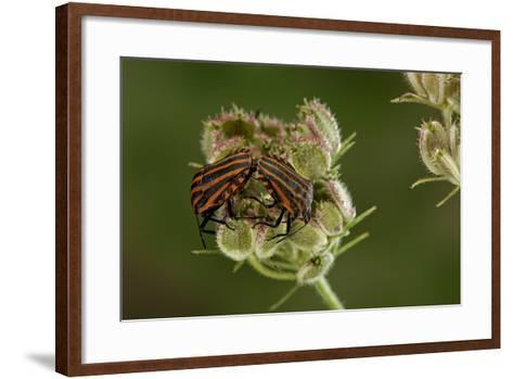 Graphosoma Lineatum (Striped Shield Bug ) - Mating-Paul Starosta-Framed Art Print