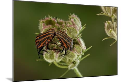 Graphosoma Lineatum (Striped Shield Bug ) - Mating-Paul Starosta-Mounted Photographic Print