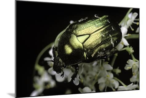 Cetonia Aurata (Rose Chafer)-Paul Starosta-Mounted Photographic Print