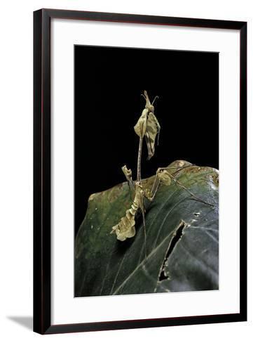 Gongylus Gongylodes (Wandering Violin Mantis)-Paul Starosta-Framed Art Print