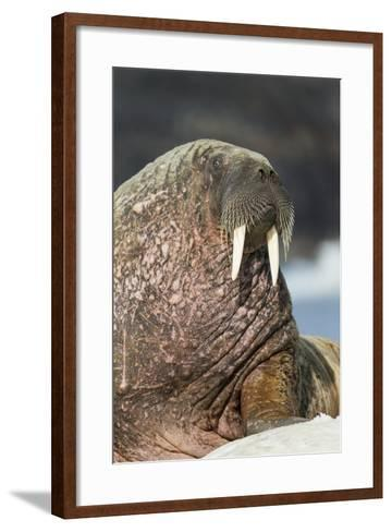 Walrus on Ice in Hudson Bay, Nunavut, Canada-Paul Souders-Framed Art Print