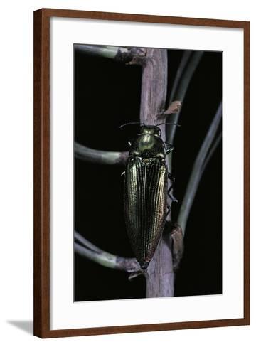 Eurythyrea Micans (Jewel Beetle)-Paul Starosta-Framed Art Print