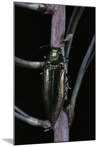 Eurythyrea Micans (Jewel Beetle)-Paul Starosta-Mounted Photographic Print