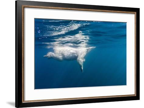 Underwater Polar Bear, Nunavut, Canada-Paul Souders-Framed Art Print