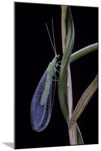 Chrysopa Carnea (Green Lacewing)-Paul Starosta-Mounted Photographic Print