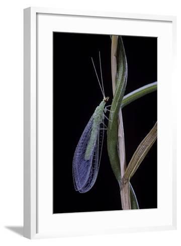 Chrysopa Carnea (Green Lacewing)-Paul Starosta-Framed Art Print