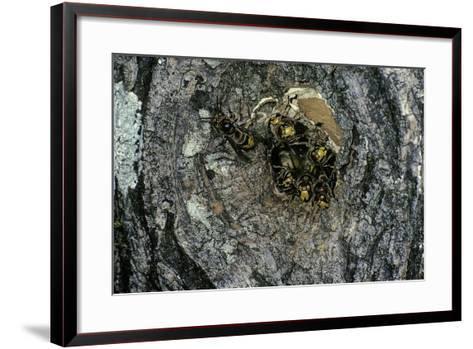 Vespa Crabro (European Hornet) - Nest Entrance in a Tree Trunk-Paul Starosta-Framed Art Print