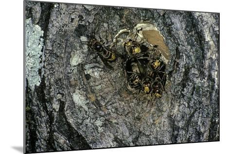 Vespa Crabro (European Hornet) - Nest Entrance in a Tree Trunk-Paul Starosta-Mounted Photographic Print