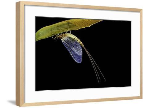 Ephemera Danica (Mayfly)-Paul Starosta-Framed Art Print