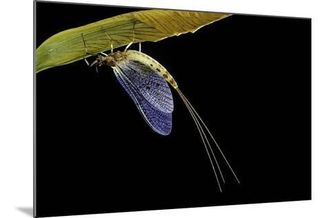 Ephemera Danica (Mayfly)-Paul Starosta-Mounted Photographic Print