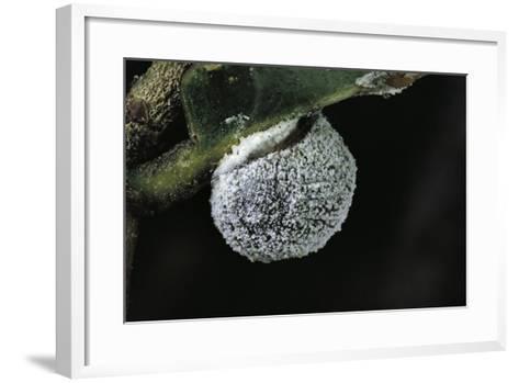 Kermes Vermilio (Kermes Berry) - Female-Paul Starosta-Framed Art Print