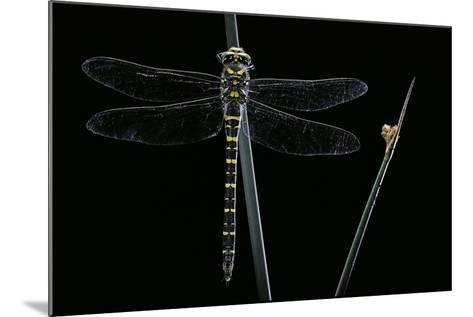 Cordulegaster Boltonii (Golden-Ringed Dragonfly)-Paul Starosta-Mounted Photographic Print